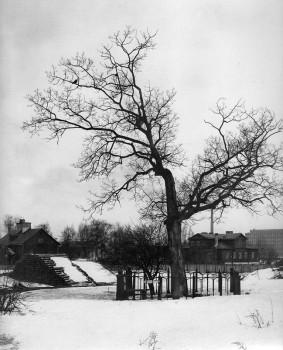 Дуб Петрап I. 1903.